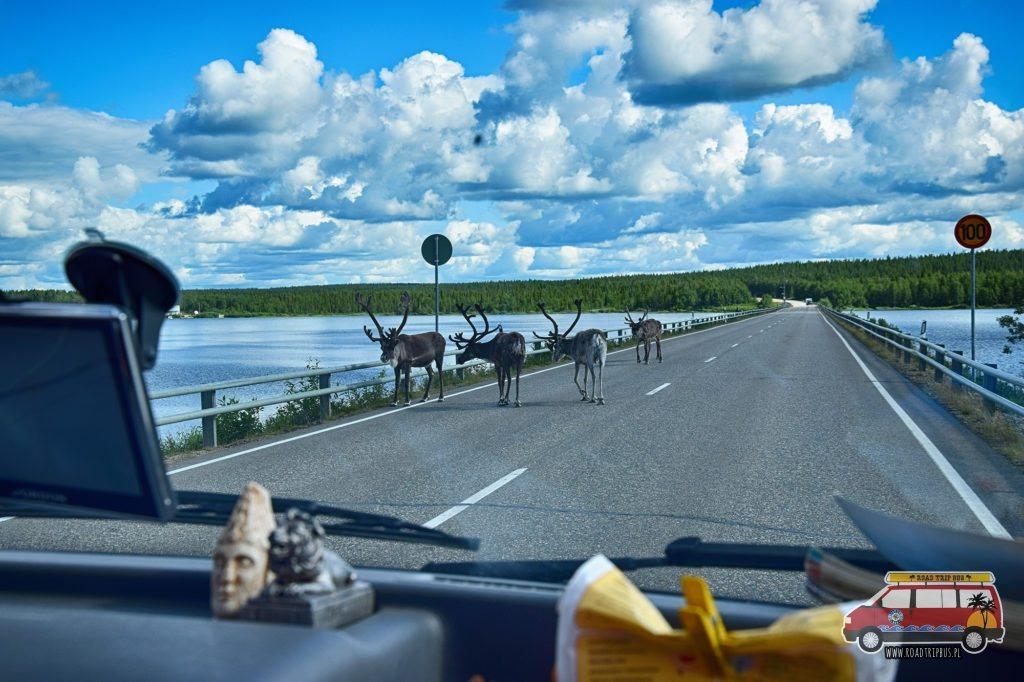 Renifery na drodze w Laponii to nic niecodziennego.