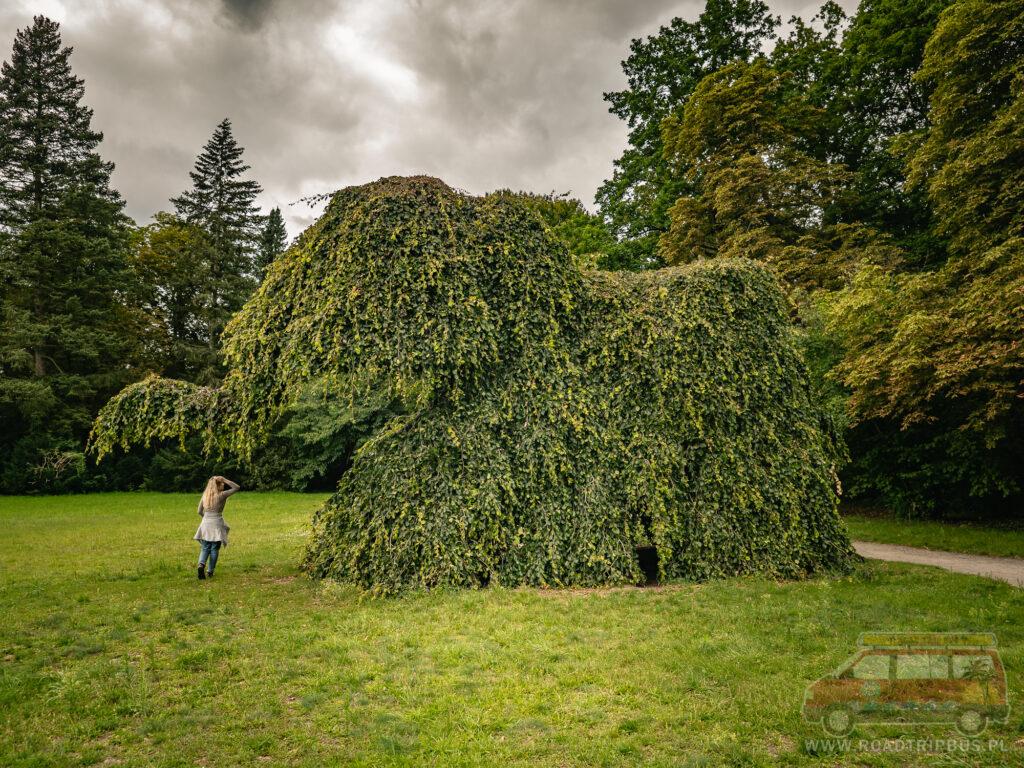 drzewo w kształcie słonia - Elefantenbaum